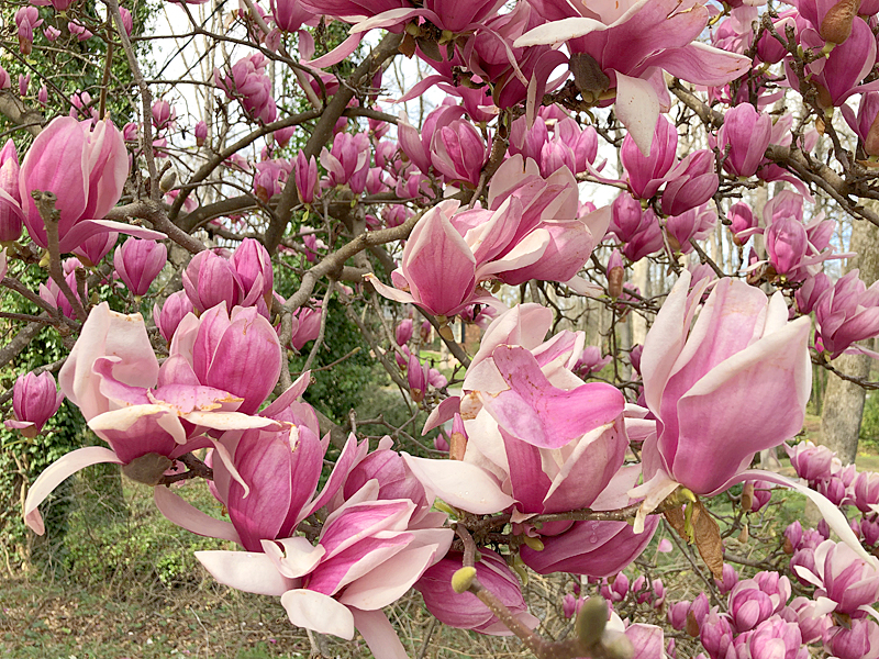 Magnolias3780