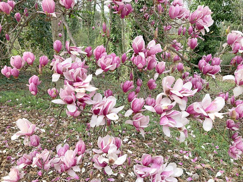 Magnolias3778
