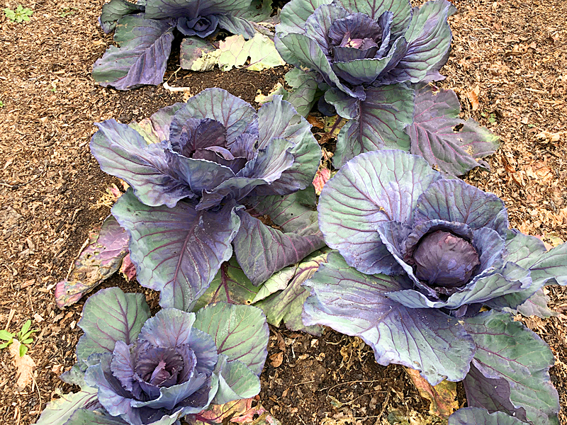 Cabbage5300