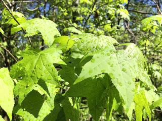 Leaves5946