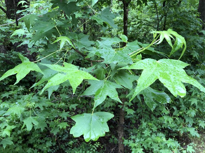 Greenleaves6089