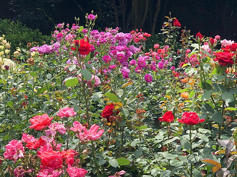 Rose garden8122