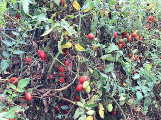 Tomatoes8954
