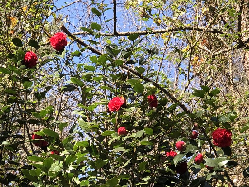 Camellias7752