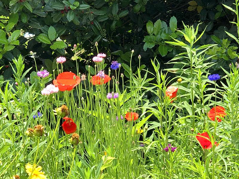 Poppies8212