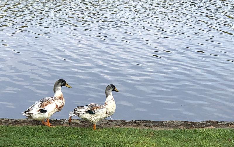 Duckparade9126