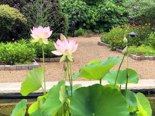 Waterlilies8349