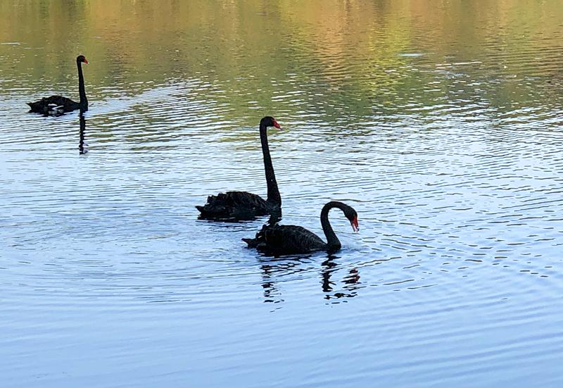 Swans9165